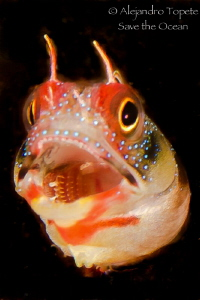 Blenny singing, Acapulco Mexico by Alejandro Topete 